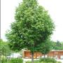 Greenspire Linden (Tilia cordata 'greenspire')