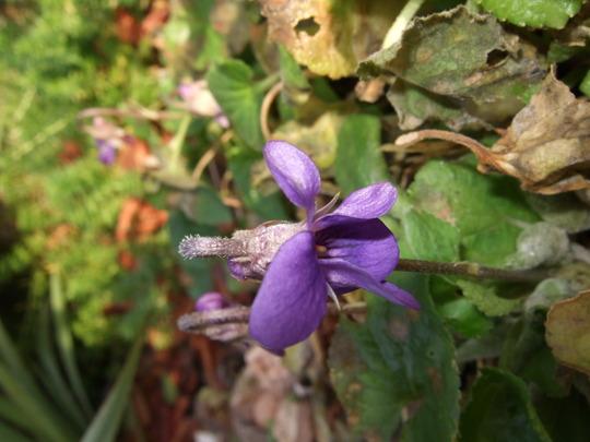 Violet (Viola canina)