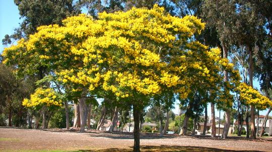 Peltophorum pterocarpum - Yellow Poinciana  or Yellow Flame Tree (Peltophorum pterocarpum)