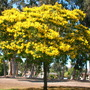 Peltophorum pterocarpum - Yellow Poinciana  or Yellow Flame Tree (Peltophorum pterocarpum)