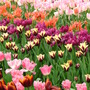 Eden Project Spring tulips