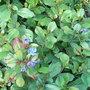 Ceratostigma_plumaginoides