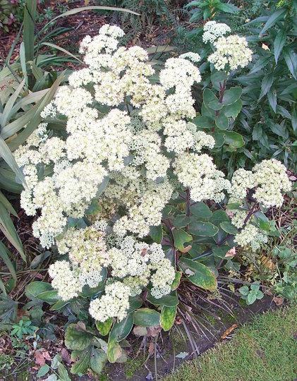 Sedum telephium subsp maximum 'Gooseberry Fool' (Sedum telephium)