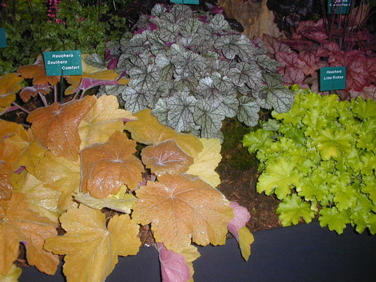 Lots of lovely Heucheras