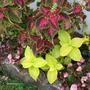Coleus and Begonia (coleus cretona)