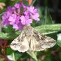 Tiny moth on Verbena rigida