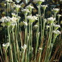 Garlic Chives (Allium tuberosum (Garlic chives))