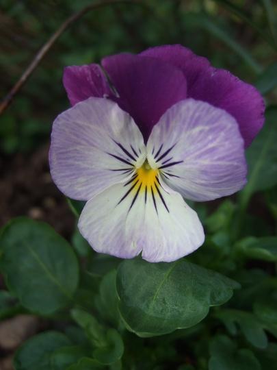 New Viola 'Coconut Duet' (Viola)