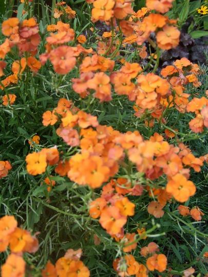 Erysimum 'Apricot Sprite' (Erysimum 'Apricot Delight')