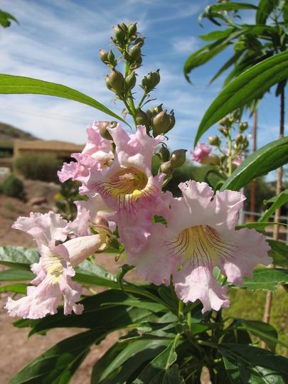 Desert Willow Tree blossom (Chilopsis linearis)