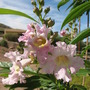 Desert Willow Tree blossom (Chilopsis linearis)