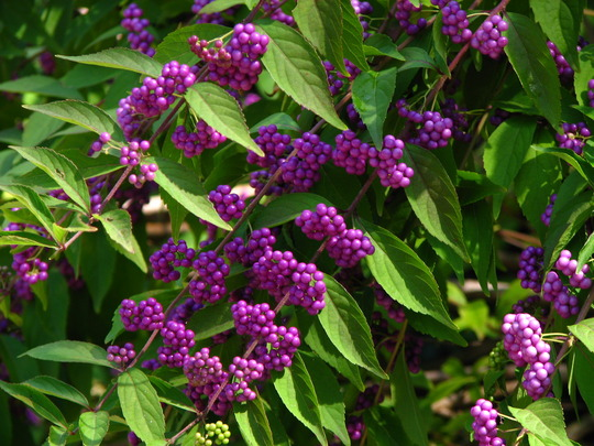 Fall is just around the corner, so says my beauty berry,it is at it's peak (Callicarpa dichotoma 'Issai'    beautyberry)