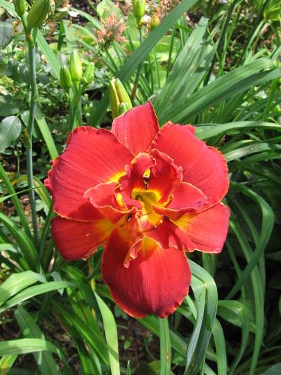 A garden flower photo (Hemerocallis)
