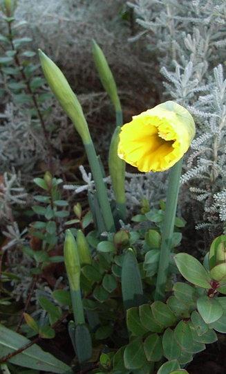 Narcissus 'Cedric Morris' (Narcissus 'Cedric Morris')