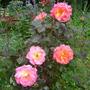 "Rose ""Mardi Gras"" (Rosa floribunda""Mardi Gras"")"