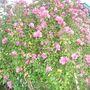 Mauve_hibiscus2