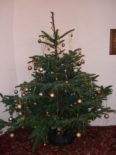 My Christmas tree (Abies procera (Noble Fir))