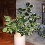 Three types of Holly from the garden (Ilex aquifolium)