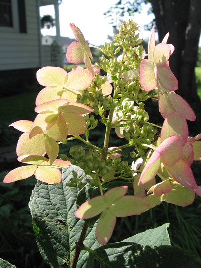 hydrangea 'Pink Diamond' (Hydrangea paniculata (Hydrangea))