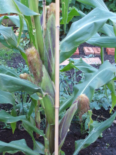 Sweetcorn - Incredible (Zea mays (Sweetcorn))