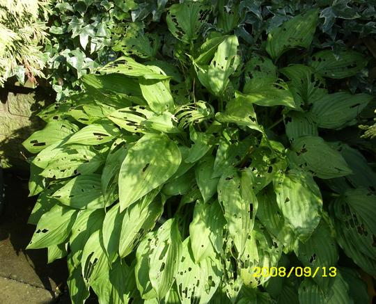 Who`s been eating my Hosta? (Plantain lilly)