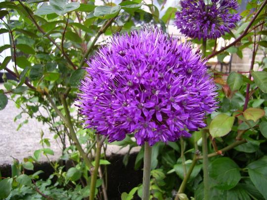 alium purple sensation