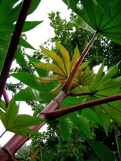 The Stalk looks like Bamboo
