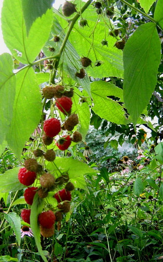 The emigrant raspberry...started out on the neighbours side of the fence...