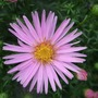 Aster_head