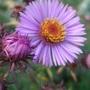 Purple_aster