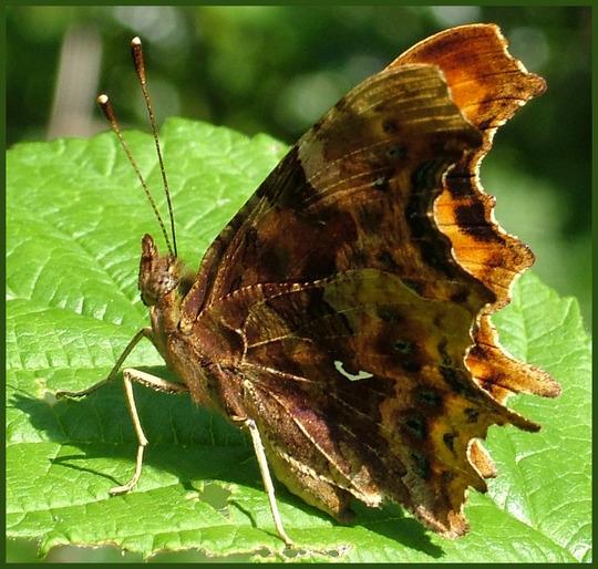 comma butterfly 2