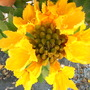 """Yellow/Gold African Tulip Tree - Spathodea campanulata """"aurea"""" (Spathodea campanulata """"aurea"""")"""