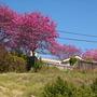 Ipe Tree - Tabebuia impetiginosa (Tabebuia impetiginosa)