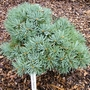 Abies_concolor_pigelmee