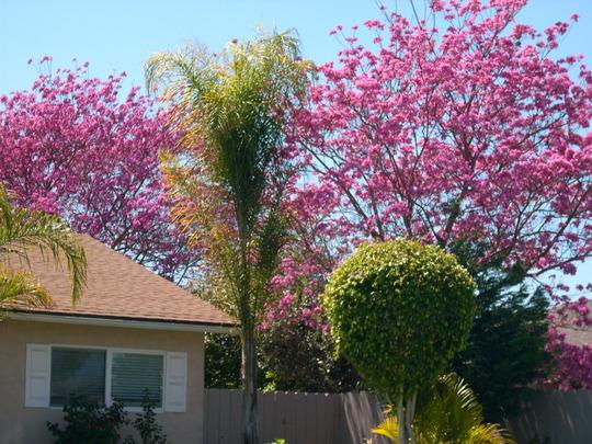 Ipe Tree - Tabebuia impetiginosa (Ipe Tree - Tabebuia impetiginosa)