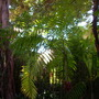 Ficus thonningii (Ficus thonningii)