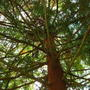 Giant Redwood looking up (Sequoia sempervirens)