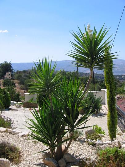 Yucca_flower0001.jpg