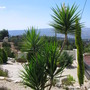 Yucca_flower0001