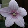 Platycodon grandiflorus (Balloon Flower)