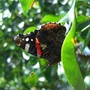 Butterfly, wings closed, side-view