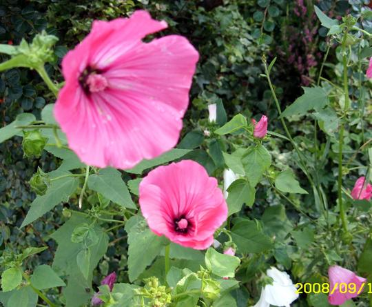A garden flower photo (Lavatera)