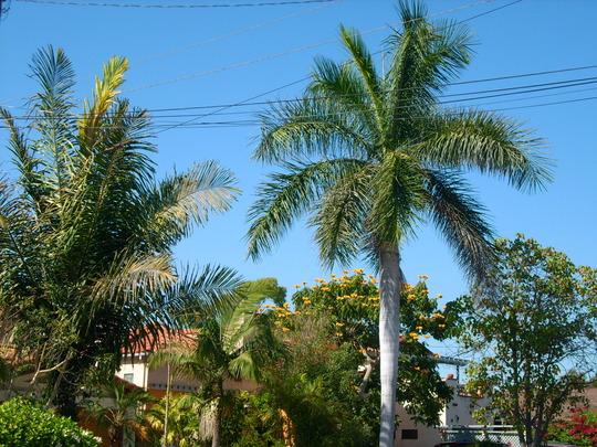 Arenga pinnata - Black Sugar Palm/ Roystonea regia - Cuban Royal Palm (Arenga pinnata, Roystonea regia)