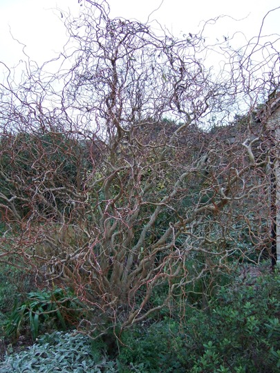 Contorted Willow in the winter (Salix babylonica tortuosa)