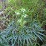 Helleborus foetidus (Helleborus foetidus (Hellebore))