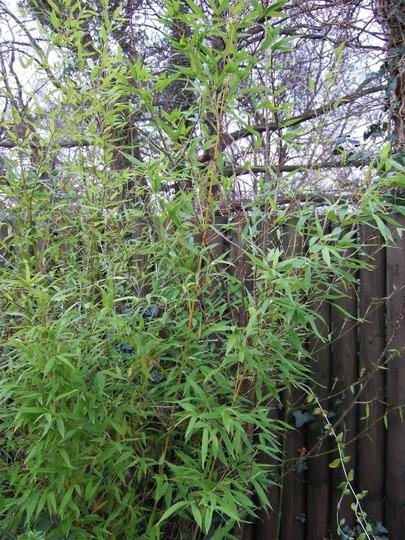 Golden Bamboo (Phyllostachys aurea (Hotei chiku))
