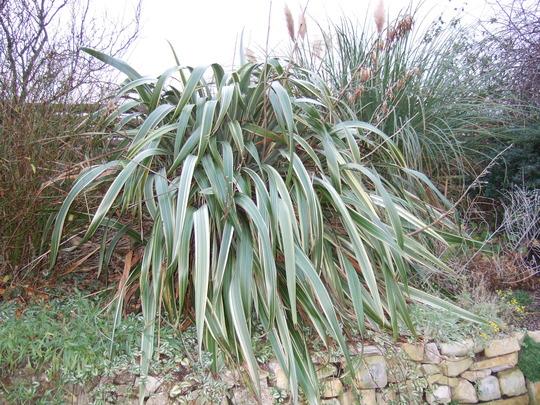 Phormium tenax (Phormium tenax (New Zealand flax))