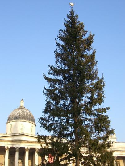 Norwegian Christmas Tree (Picea abies (Norway spruce))