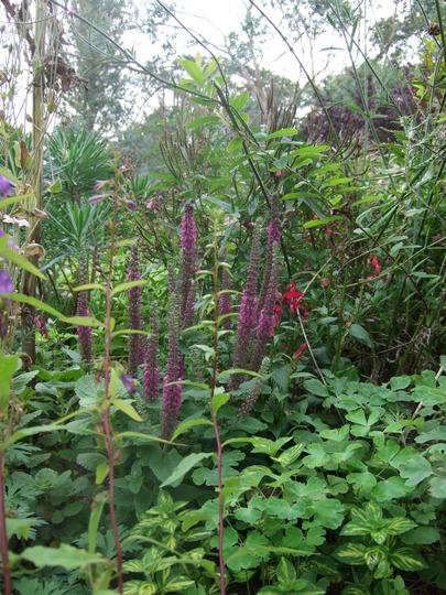 Top border (Teucrium hircanum)