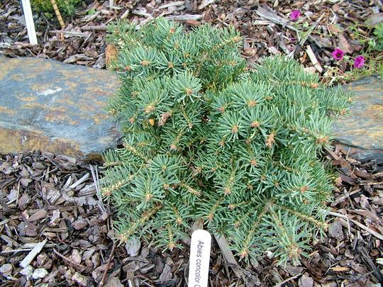 Abies concolor 'Olson Broom' (Abies concolor)